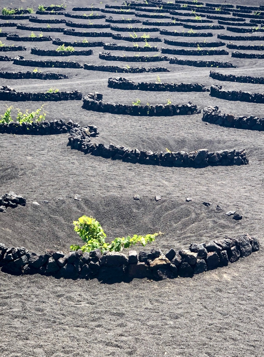 How grapes are grown in Lanzarote